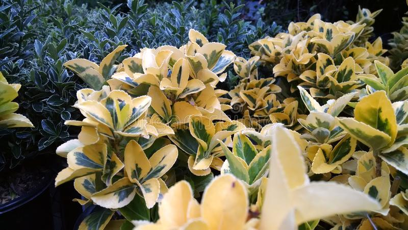 Golden Euonymus stock photography