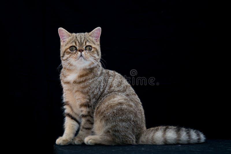 Golden exotic shortair pedigree cat in studio stock photography