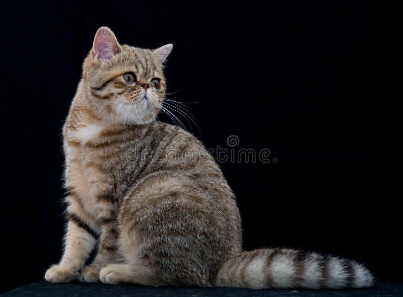 Golden exotic shortair pedigree cat in studio royalty free stock images