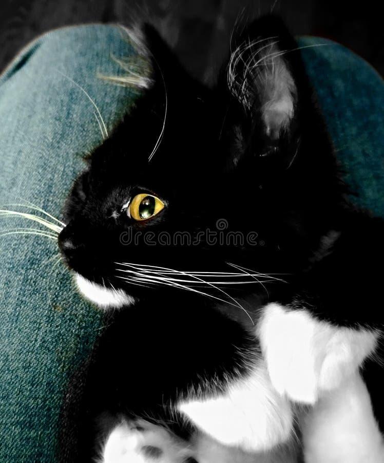 Golden eye cat royalty free stock image