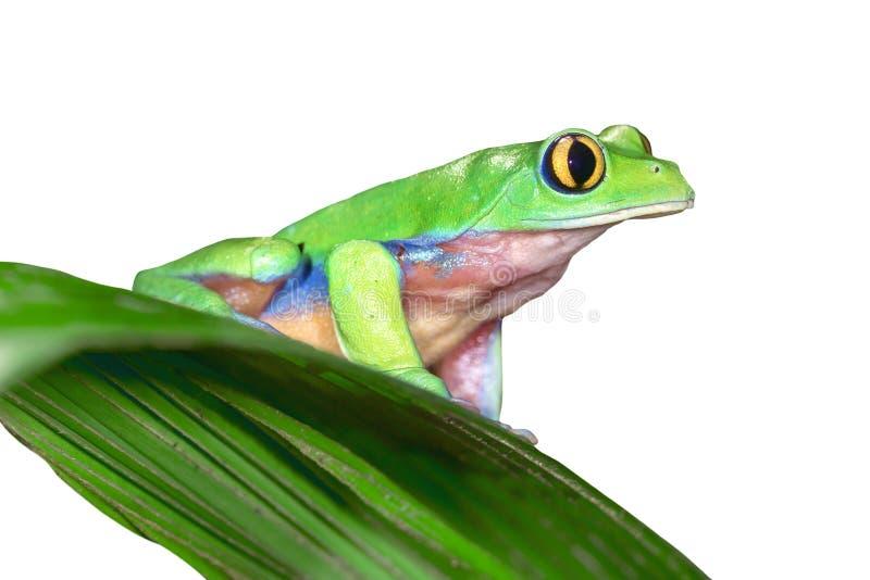 Golden-eyed Leaf Frog royalty free stock image