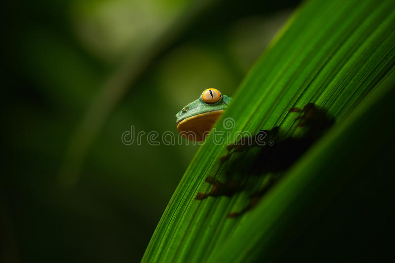 Golden-eyed leaf frog, Cruziohyla calcarifer, green frog hidden on the leaves, tree frog in the nature habitat, Corcovado, Costa. Rica royalty free stock image