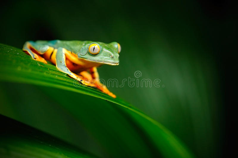 Golden-eyed leaf frog, Cruziohyla calcarifer, green frog sitting on the leaves, tree frog in the nature habitat, Corcovado, Costa. Rica royalty free stock photos