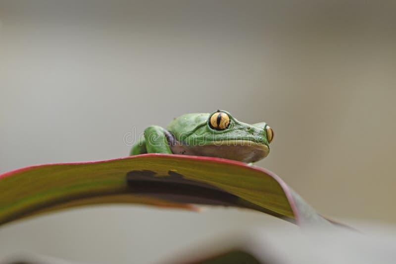 Golden-Eyed Leaf Frog on a Leaf stock photography