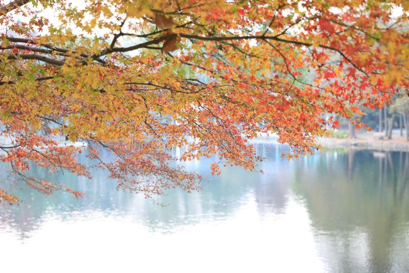 Golden Fall Foliage Autumn Yellow adn red Maple Tree stock image