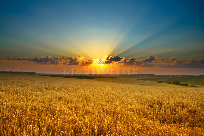 Golden field royalty free stock photos