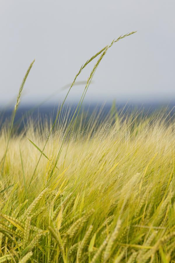Golden Field of Barley royalty free stock images