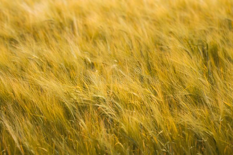 Golden Field of Barley in the Wind stock photos