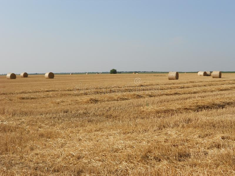 Golden field with hay bales, after harvest royalty free stock image
