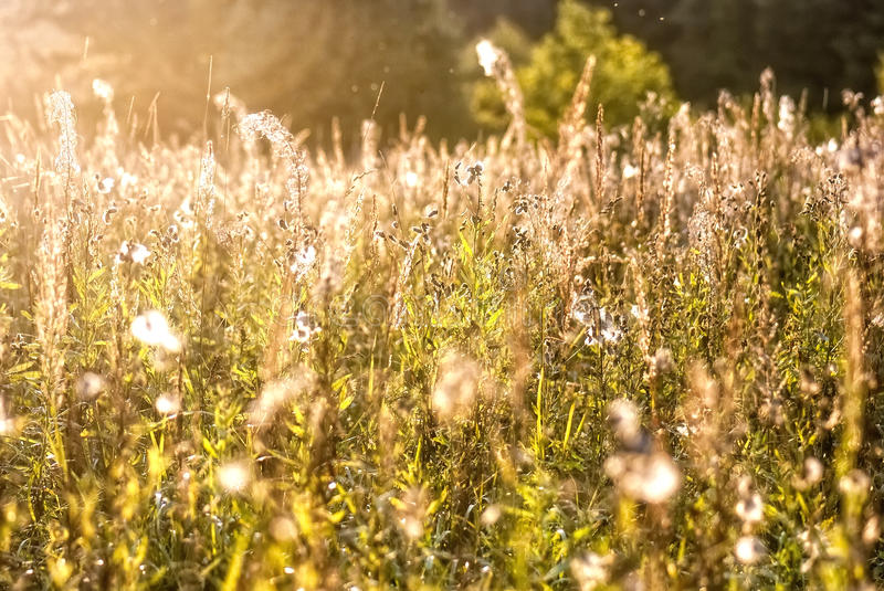 Golden field, morning autumn light... Good quality positive (emotional) photo of a field of grass in bright golden autumn morning light (focus at royalty free stock images