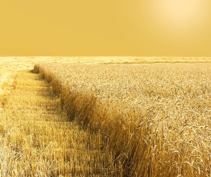 Golden field of wheat during the harvest in late summer. Harvesting. Cereal field stock images