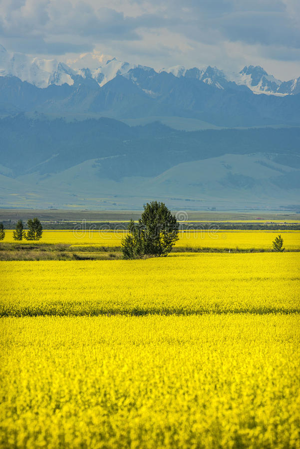 Golden fields of snow-capped mountains. China Xinjiang Tianshan below, golden fields canola flower in full bloom stock image