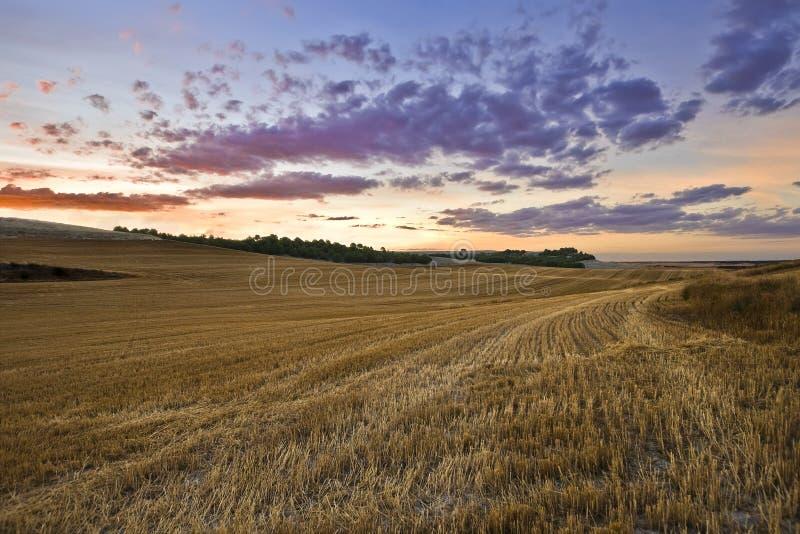 Golden fields on a summer sunset stock photos