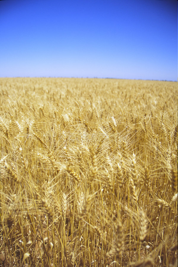 Golden Fields of Wheat royalty free stock image