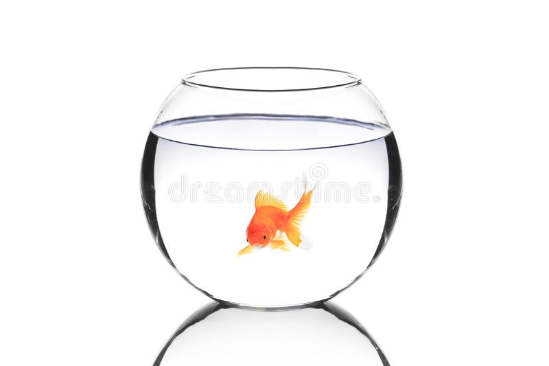 Golden fish in a bowl royalty free stock photography