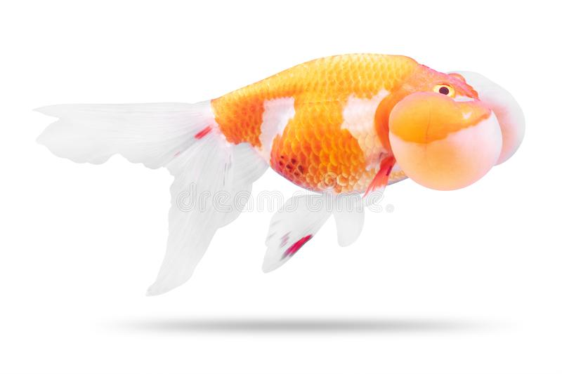 Golden fish isolated on white background. Goldfish and bubble eyes. Clipping path. Golden fish isolated on white background. Goldfish and bubble eyes royalty free stock photography