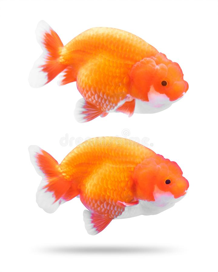 Golden fish isolated on white background. Goldfish jelly head. Clipping path. Golden fish isolated on white background. Goldfish jelly head stock photography