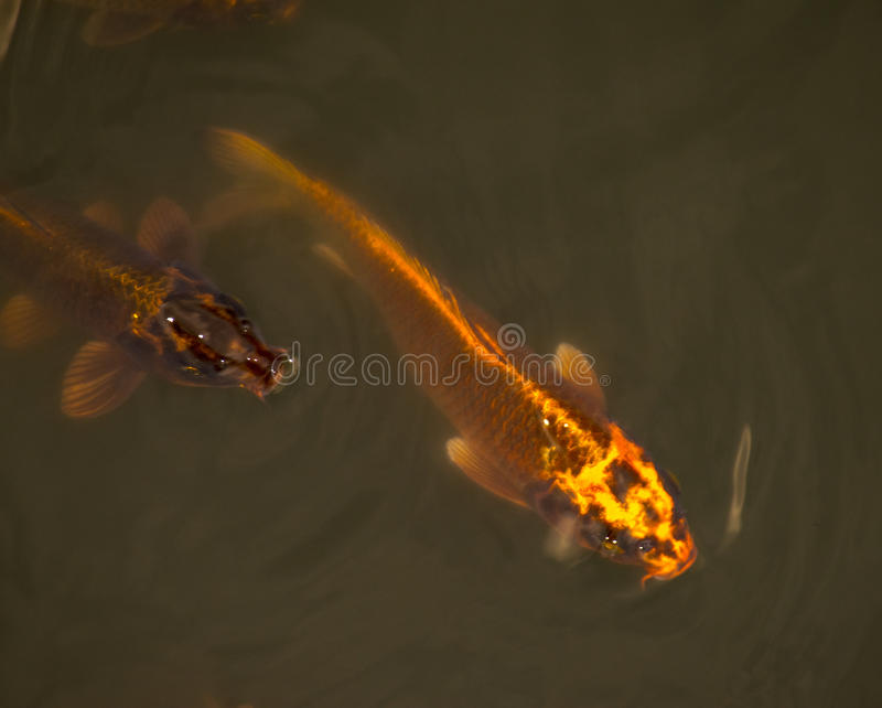 Golden koi fish in a pond in Isha foundation royalty free stock image