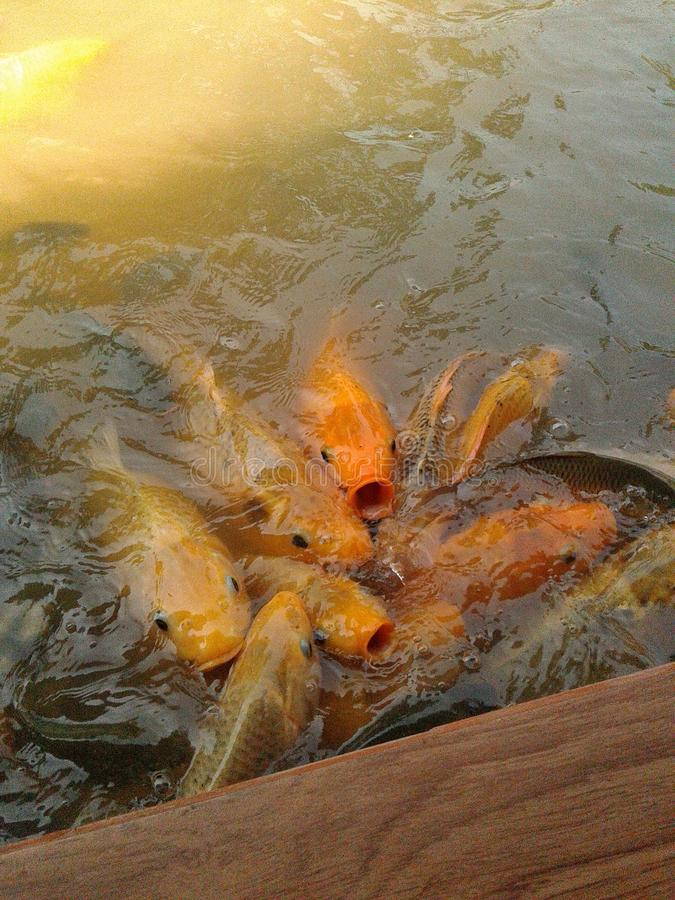 Golden fish seeking for food. Group of golden fish seeking for food royalty free stock photo