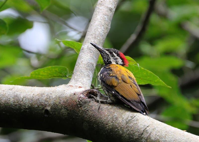 Golden flameback woodpecker stock images