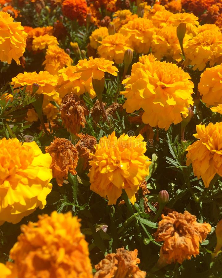 Golden flowers royalty free stock image