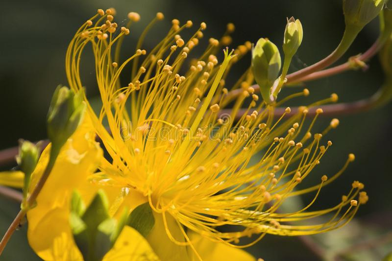 Golden flowers, stamens, hd flower material royalty free stock photo