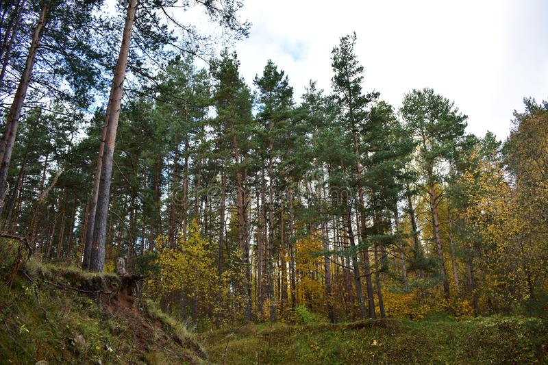 Golden forest ravine hill pine and colorful deciduous trees shrubs, green grass, blue sky. Clouds stock photos