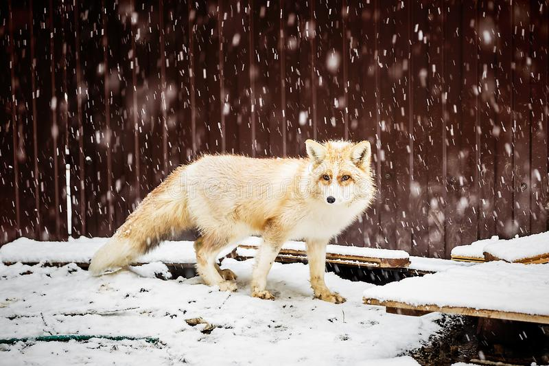 Golden fox in winter snowfall. Domestic golden fox in winter snowfall, close up view royalty free stock images