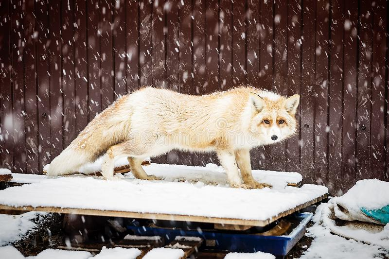 Golden fox in winter snowfall. Domestic golden fox in winter snowfall, close up view royalty free stock photography
