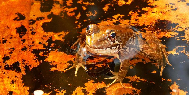 Golden frog. A golden frog sitting on a moss-covered rock in the Storms River with beautiful reflections stock photo
