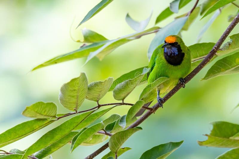 Golden fronted Leafbird på en trädgren som tittar in på ett avstånd royaltyfri foto