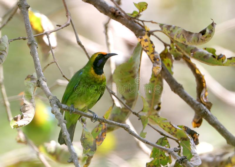 Golden-fronted leafbird royalty free stock photography