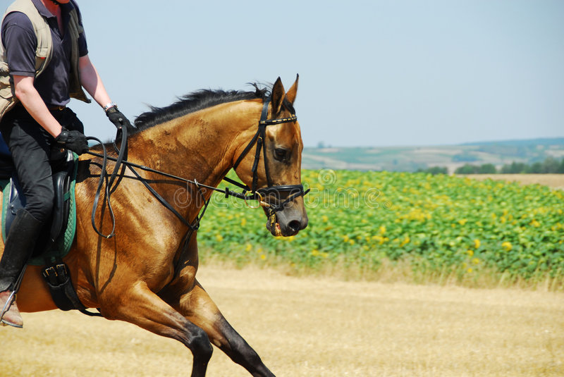 Golden gallop stock image