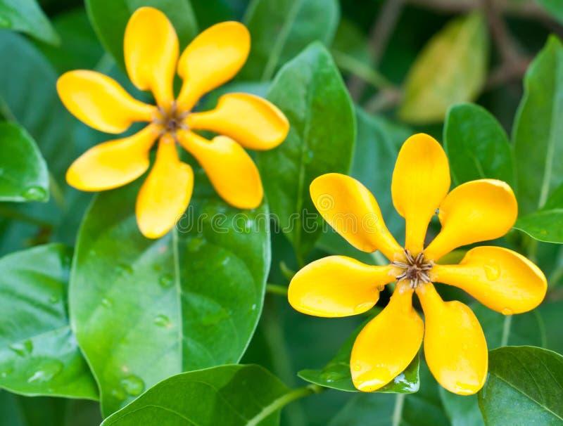 Golden gardenia flowers stock image image of invite 26782157 download golden gardenia flowers stock image image of invite 26782157 mightylinksfo