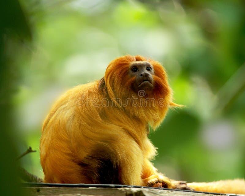 Download Golden Gaze stock photo. Image of golden, mammal, animal - 15722938