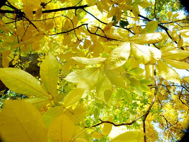 Golden-gelbe entfärbte Kastanie verlässt im Herbst im vollen Sonnenlicht stockbilder