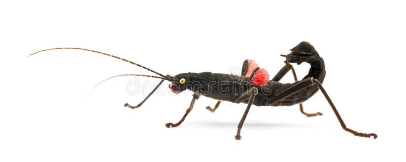 Golden-gemustertes Steuerknüppel-Insekt, Peruphasma schultei stockbild