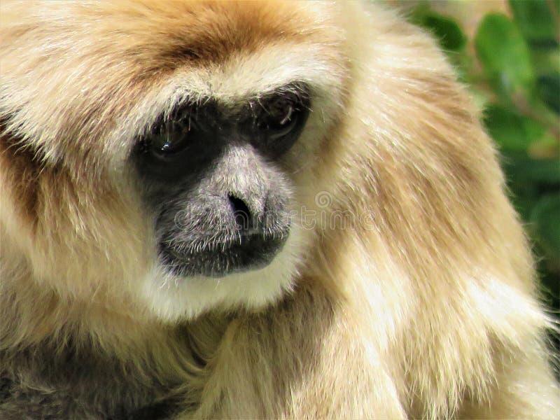 A golden Gibbon royalty free stock photos