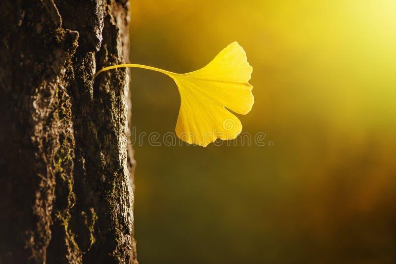 Golden Ginko Biloba leaf in a bark of tree royalty free stock photo