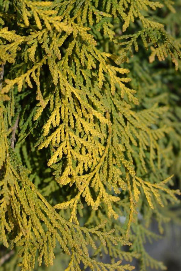 Golden Globe Arborvitae stock foto
