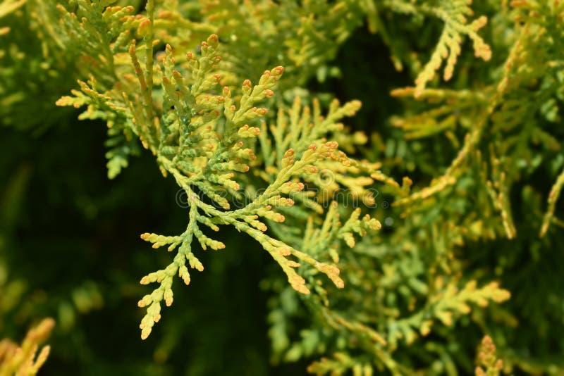 Golden Globe Arborvitae royalty-vrije stock foto