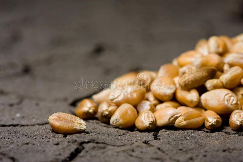 Download Golden Grains On Wasteland Background Stock Image - Image: 13112853
