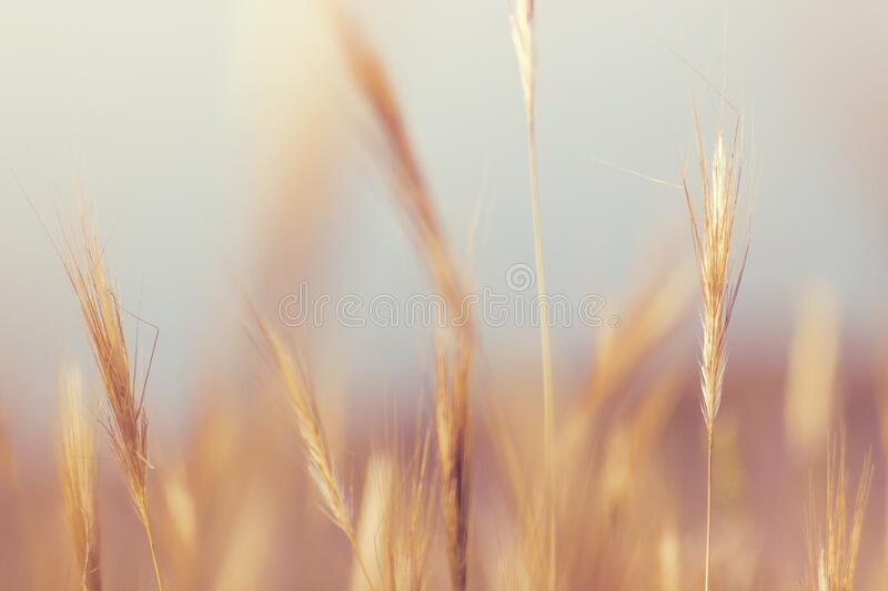Golden grains of wheat stock image