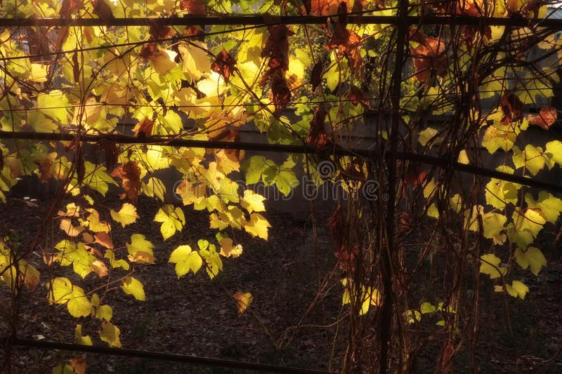 Golden grape leaves in sun light contrast royalty free stock photo