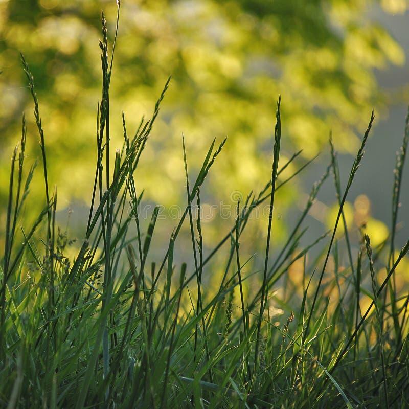 Golden Grass stock photography