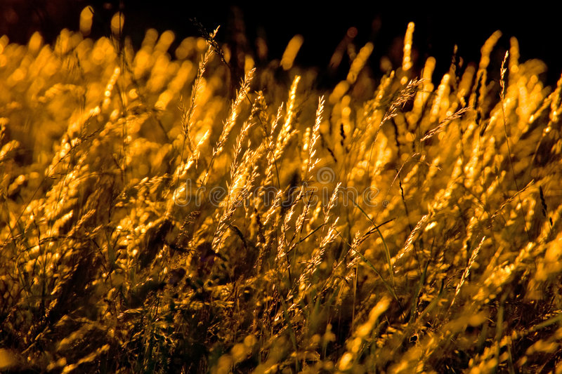 Golden grass. Plants on sunset light royalty free stock photo