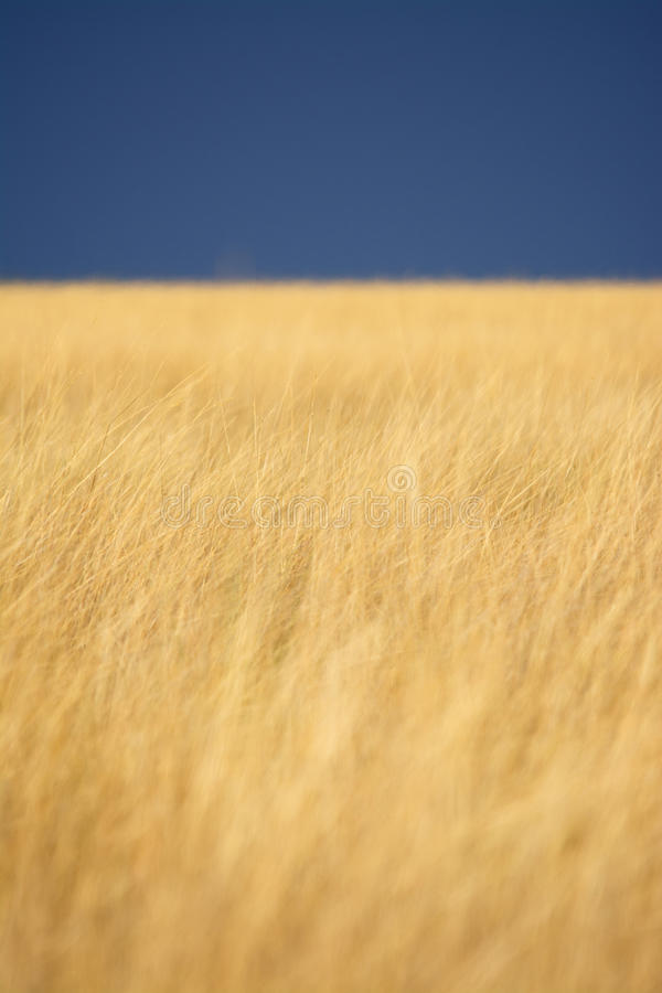 Golden Grass Background. Golden Grass under Stormy Clouds in Africa stock photography