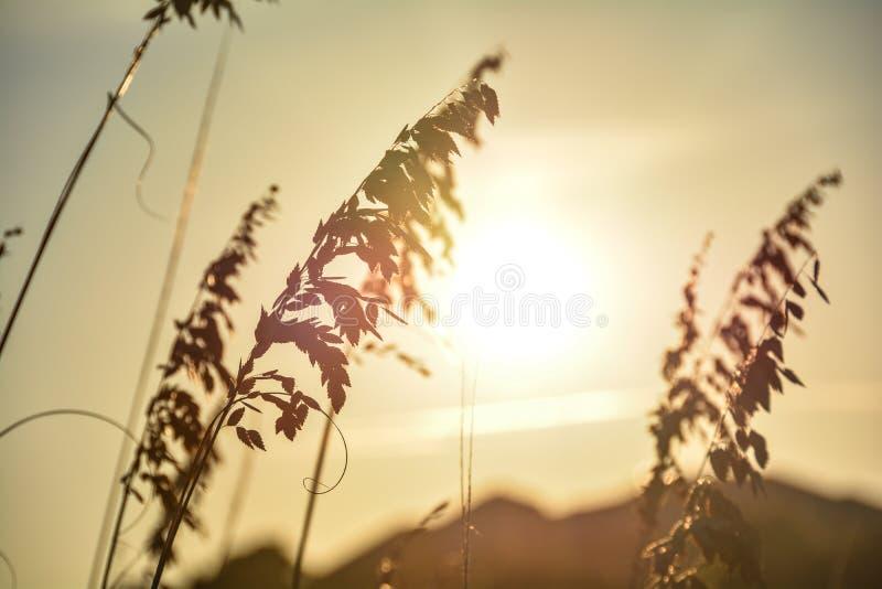 Golden grass of summer stock photos
