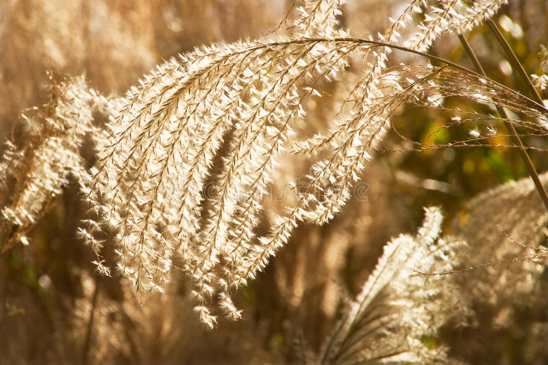 Golden Grasses. Garden grasses catching the low winter light royalty free stock image