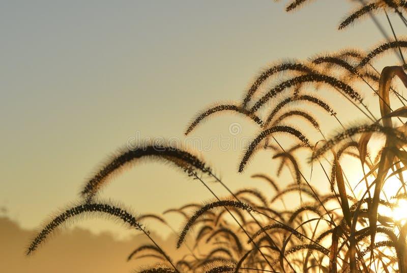 Golden Grasses 2 stock image